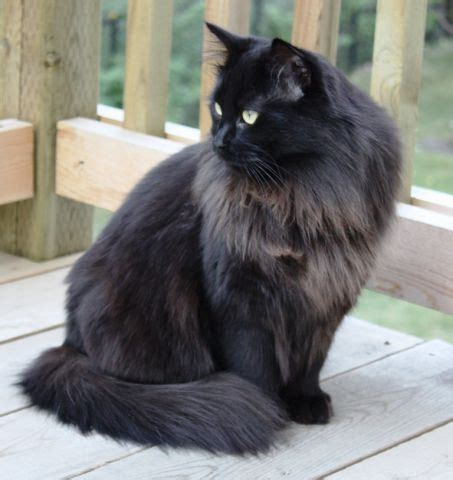 maine coon fancy gallery