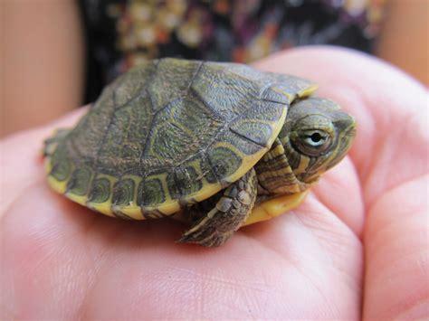 tartaruga d acqua alimentazione come allevare le tartarughe d acqua