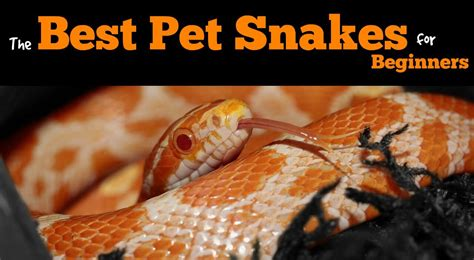 what are the best pet snakes for beginners pbs pet travel