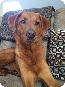 golden retriever chattanooga brody adopted chattanooga tn golden retriever hound unknown type mix