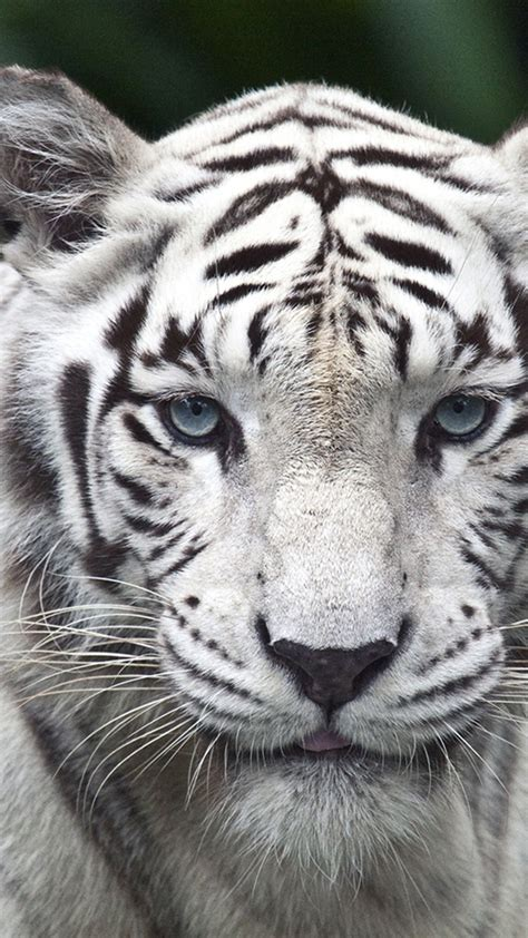 wallpaper for iphone 6 tiger iphone 6 plus white tiger hd wallpaper wallpapersmobile net