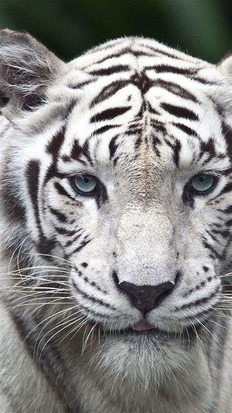 wallpaper iphone 6 tiger iphone 6 plus white tiger hd wallpaper wallpapersmobile net