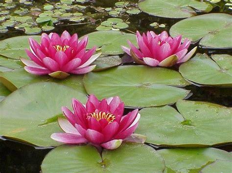 fiore di ninfea significato ninfea significato significato fiori significato dei