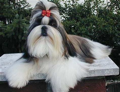 how big can a shih tzu grow the shih tzu