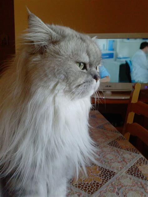 persiani chinchilla gatto persiano chinchilla di profilo petpassion