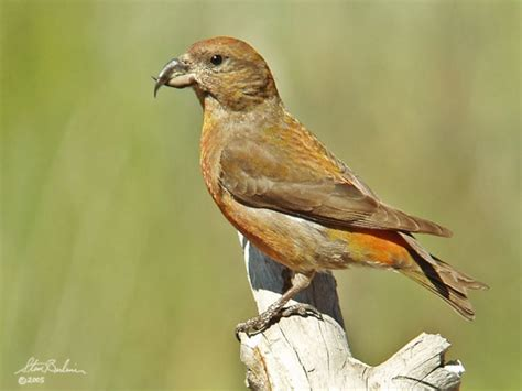 red crossbill birdforum opus