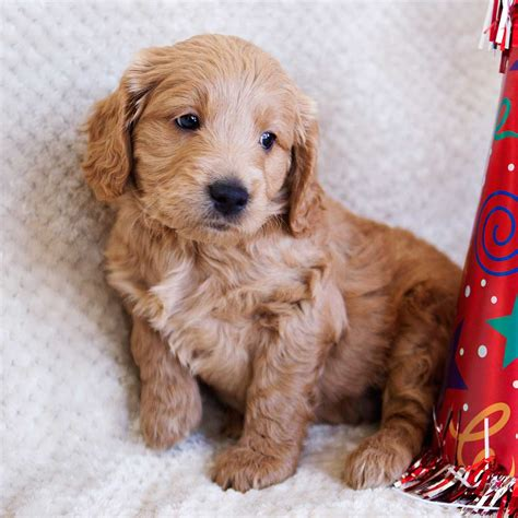 mini doodle florida goldendoodle puppies goldendoodle mini