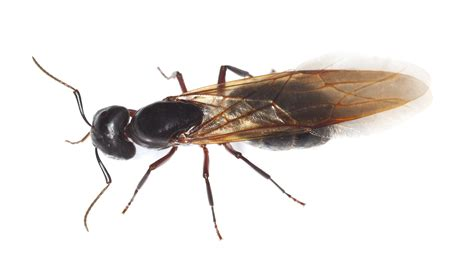 carpenter ant problems pest control nyc long island