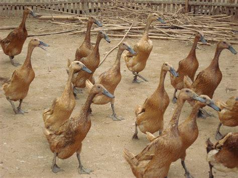 Bibit Bebek Petelur sentra penjualan bebek telur dod bebek lung