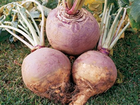images of rutabaga root vegetables turnips rutabagas and radishes diy