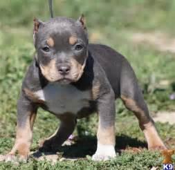 chagne tri color pitbull puppies for sale pitbull fans