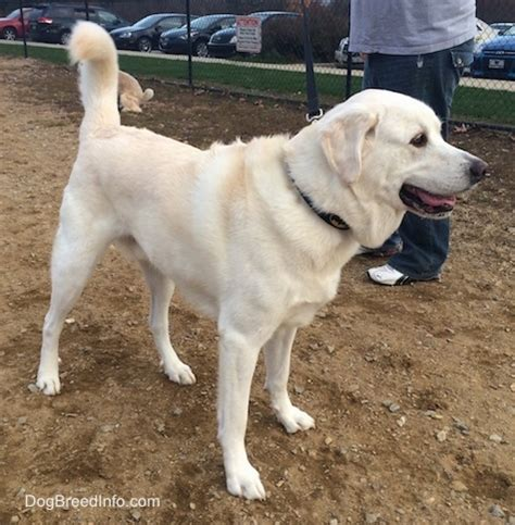 great pyrenees lab mix puppies pyrador breed information and pictures