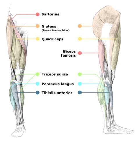 tag human anatomy leg muscles diagram archives human
