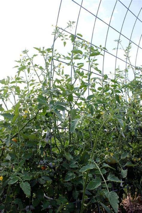 tomato trellis tomato cages family food garden