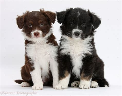 mini american shepherd puppies dogs mini american shepherd puppy photo wp38448