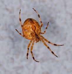 Garden Spider Orange Garden Spider Oklahoma Garden Ideas Designs