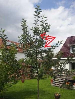 Zweij 228 Hrigen Apfelbaum Erziehen Pflegen