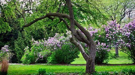 alberi da giardino con fiori alberi da giardino con fiori alberi da fiore piante da