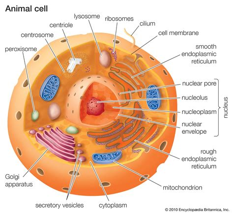diagram of an animal cell cell diagram search results calendar 2015