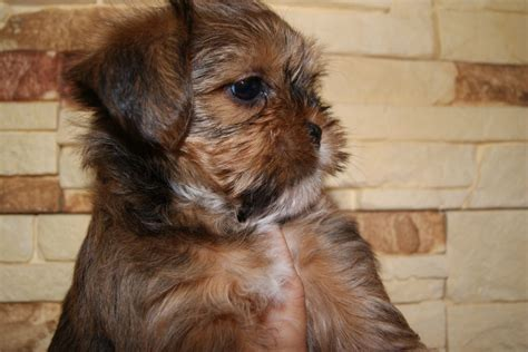 miniature shih tzu puppies for sale in kent yorkie shih tzu puppies at 4 months breeds picture