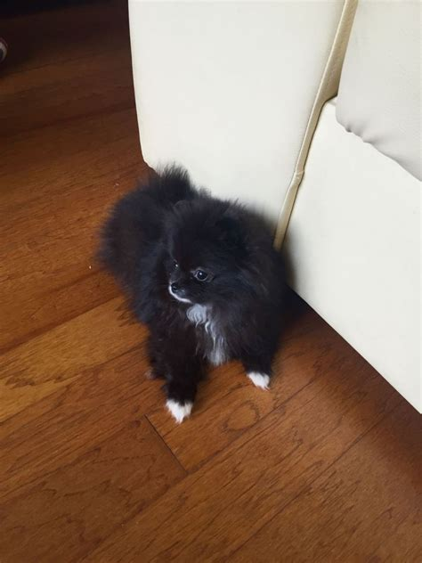 black and white pomeranian for sale lovely really special black and white pomeranian south east pets4homes