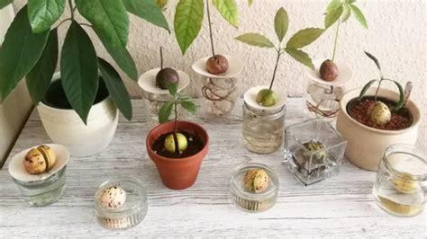 grow avocado indoors plant instructions