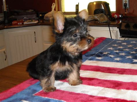 yorkie ears clipped yorkiepuppyavailable