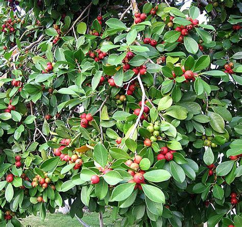 berry tree hawaii polynesian produce stand strawberry guava psidium