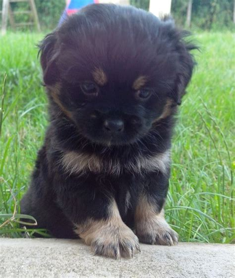 havanese cross pug 16 best blahblahblah images on pug mixed breeds pug cross and cubs