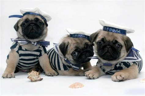 pug screen saver pug wallpaper screensaver background pug puppies pug i licious