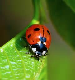Pumpkin Plant Diseases - lady beetle harvest to table