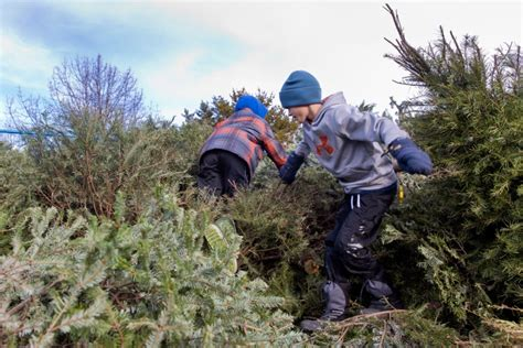 photos christmas tree chipping