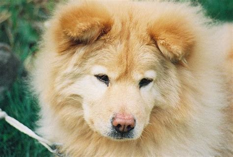 part husky part golden retriever chow chow golden retriever mix loooove beautiful best dogs and