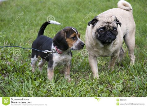 beagle and pug beagle and pug royalty free stock images image 8862429