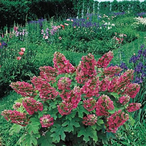 oakleaf hydrangea ruby slippers ruby slippers oakleaf hydrangea at hill nurseries