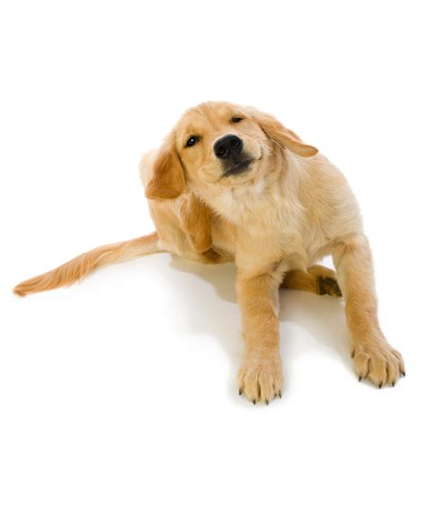 golden retriever itchy skin treatment skin allergies atopy montana veterinary specialists general care