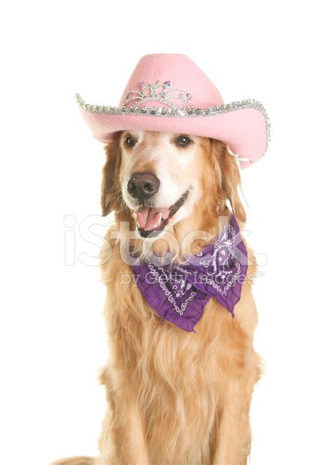 golden retriever hat golden retriever with pink cowboy hat and bandana stock photos freeimages