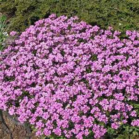 low ground cover perennials arabis rock cress seeds arabis alpina ground cover seed