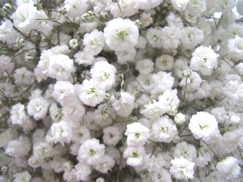 Wedding Bouquet Gypsophila by Vidabela Gypsophila Wedding Bouquets
