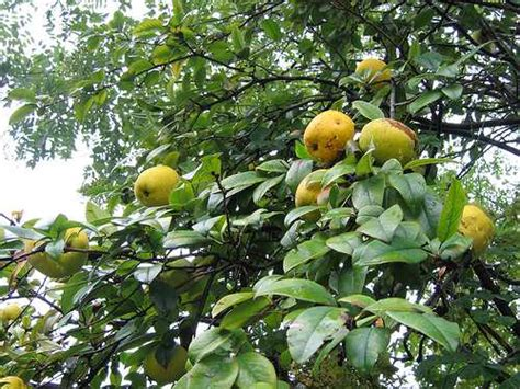 planting fruit trees in backyard how to plant fruit trees in your garden