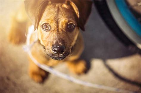 how does it take for puppies to walk how do i teach my puppy to walk on a lead petspot