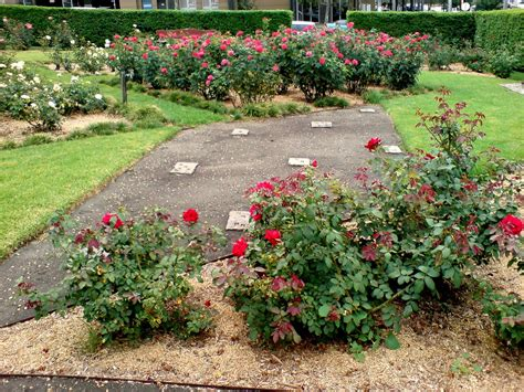 rose bed where to plant rose how to choose a spot to grow roses
