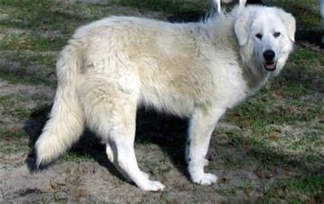 dogs tongue is white maremma sheepdog breed information and pictures
