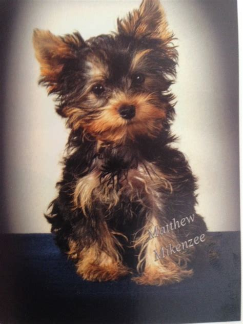 minimagic yorkie photos