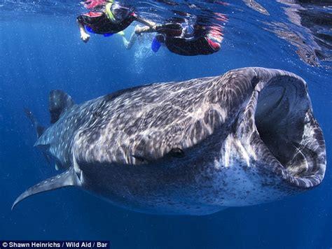 imagenes impresionantes de tiburones impresionantes im 225 genes de un tibur 243 n ballena en la costa