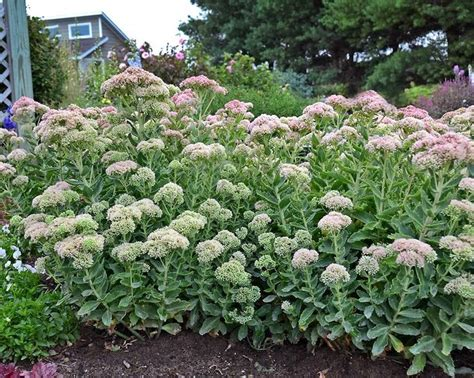 sedum t rex perennial med 24 28 quot plant 32 quot apart blooms late summer early fall zones 3 9