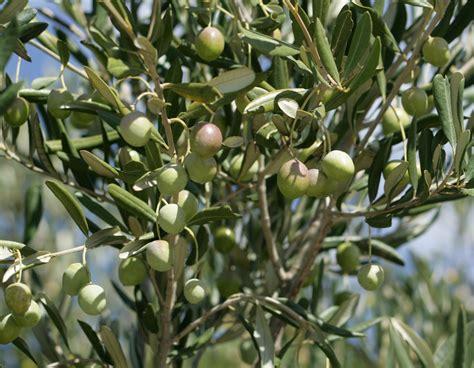 olive tree olive tree muslim uk