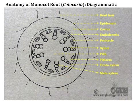 cross section of monocot root monocot root cross section structure with ppt