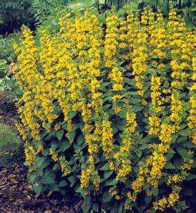 perennial shrub with yellow flowers welcome to paul parent garden club