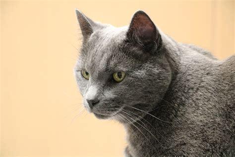 image gallery gray cat